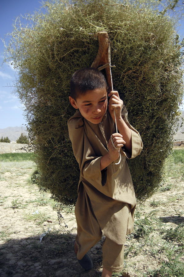 Young Afghan boy carries the kindling used in the rural areas of the country for heating homes and cooking meals.11/Jul/2008. Kapisa Province, Afghanistan.