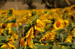 sunflowers dans la douce France