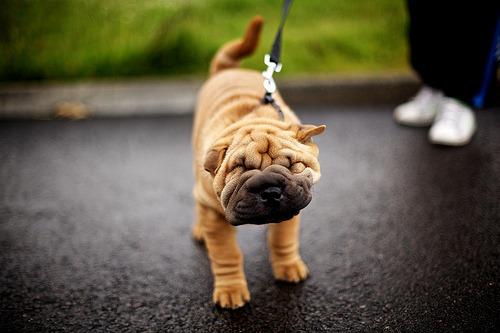 kari-shma:  Shakey Shar-Pei (by Ashley Baxter)