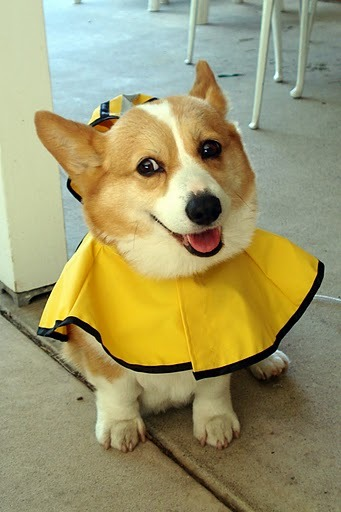 corgiaddict:  Maggie, age 8, in her raincoat on a sunny day. submitted by Leslie in Allentown, PA awwwwwww  LOOK AT THIS DOG