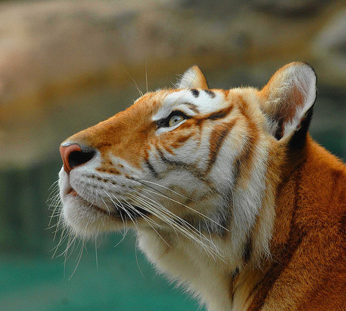 "animalworld:  BENGAL TIGERPanthera tigris tigris©a walk on the wild side nature photography/Michael ""GOLDEN TABBY"" an unusual color variation A golden tabby tiger is an extremely rare color variation  caused by a  recessive gene which is only found in captive  tigers. Like the  white tiger, it is a color form and not a separate  species. In the  case of the golden tiger, this is the wide band gene;  while the white  tiger is due to the color inhibitor (chinchilla) gene.  There are  currently believed to be fewer than 30 of these rare tigers in  the  world, but many more carriers of the gene. Fact Source: http://buzzinn.net/strangest-and-rarest-animals-in-world/ Other photos you may enjoy: Tiger Portrait Snarling Tiger Bengal Cat  so freakin gorgeous"