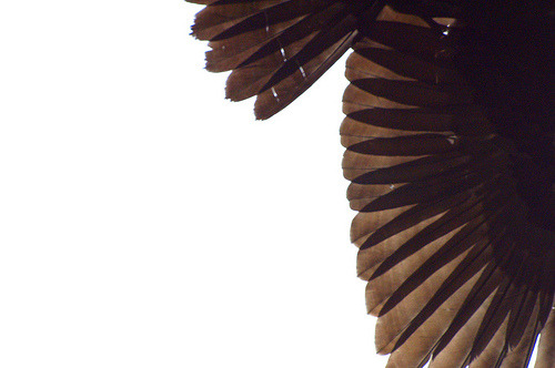isaac-lonetree:  Crow Feathers in Bright Sky (by russell.tomlin)