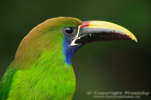 "Good morning Tweethearts.. animalworld:  EMERALD TOUCANETAulacorhynchus prasinus© Ondřej Prosický The Emerald Toucanet is a near-passerine bird occurring in mountainous regions from Mexico, through Central America, to northern Venezuela and along the Andes as far south as central Bolivia. The Emerald Toucanet is a generally common in humid forest and woodland, mainly at higher elevations. The 3–4 white eggs are laid in an unlined hole in a tree, usually an old woodpecker nest,  but sometimes a natural cavity. Both sexes incubate the eggs for 14–15  days, and the chicks remain in the nest after hatching. They are blind  and naked at birth, and have short bills and specialised pads on their  heels to protect them from the rough floor of the nest. They are fed by  both parents, and fledge after about 6 weeks. They are fed for several weeks after leaving the nest. Small flocks, usually consisting of 5–10 birds, move through the  forest in ""follow-my-leader"" style with a direct and rapid flight. This  species is primarily an arboreal fruit-eater, but will also take insects, lizards, bird eggs, and other small prey. Source: http://en.wikipedia.org/wiki/Emerald_Toucanet Other posts: Psychedelic Anacaris Chestnut Tipped Toucanet Plate-billed Mountain Toucan"