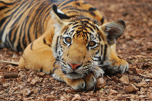 "zoo-logic:  The South China tiger (Panthera tigris amoyensis) is the world's most endangered species of tiger - less than 30 remain in the wild, and only around 60 in captivity. What is remarkable about conservation efforts for this particular species is that populations are being returned to the wild in a controversial project that takes them via South Africa. Li Quan, founder of Save China's Tigers, explains: ""Wildlife management is an art, and it's one in which South Africa excels. China is still poor and if people are hungry they will hunt wildlife. Poverty alleviation is the Chinese government's priority, so there's little money for conservation. There is also wholesale loss of the prey animals on which large predators survive. We have no time to lose, and I persuaded the Chinese government that we should re-wild the tigers in a 600-hectare reserve in South Africa while restoring their habitat in China in preparation for their return."" The 're-wilding' project teaches young tigers, including those from captive backgrounds that may never have even seen grass before, to hunt in order that they can be returned to wild, a process that takes about 18 months. The tigers will be returned to nature reserves in China once sustainable populations of prey have been established and people living in target areas have been resettled.Ref: Armstrong (2011) Li Quan: Why Chinese tigers should return via Africa. New Scientist 2828 29. [link]"
