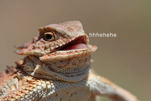 lizardsenjoyinglife:  this lizard seems pretty amused by something. he must be enjoying life.