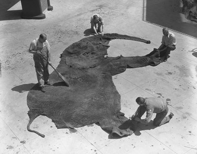blackandwtf:  June 1933 Museum staff cleaning the skin of an elephant at the American Museum of Natural History in New York City. (via AMNH: Picturing the Museum and dreams like that)