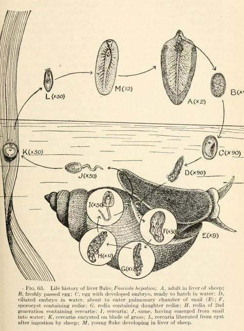 biomedicalephemera:  Life Cycle of Liver Fluke The life cycle of the fluke that causes schistosomiasis has a very similar life cycle, except where the liver fluke enters and matures within the sheep liver, the schistosome enters the human skin, and matures within the mesenteric veins, though they can easily move between tissues and locations. Animal Parasites and Human Disease. Asa C. Chandler, 1918.