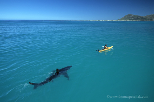 Paddle Faster, Great White Shark, South Africa photo by thomaspechak