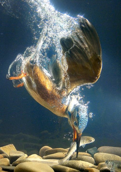 rhamphotheca:  zolanimals: Kingfishers are a group of small to medium sized brightly coloured birds in the order Coraciiformes. They have a cosmopolitan distribution, with most species being found in the Old World and Australia. The kingfishers feed on a wide variety of items. They are most famous for hunting and eating fish, and some species do specialise in catching fish, but other species take crustaceans, frogs and other amphibians, annelid worms, molluscs, insects, spiders, centipedes, reptiles (including snakes) and even birds and mammals. A number of species are considered threatened by human activities and are in danger of extinction. (Wiki.)