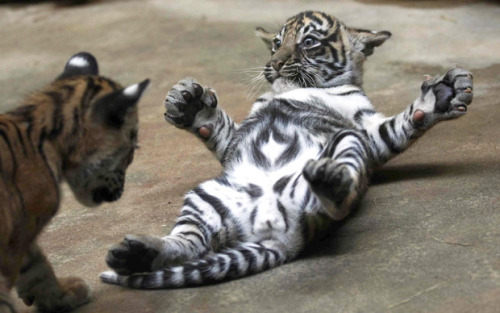 Sumatran Tiger Cubs Play in Their Enclosure in Prague Zoo