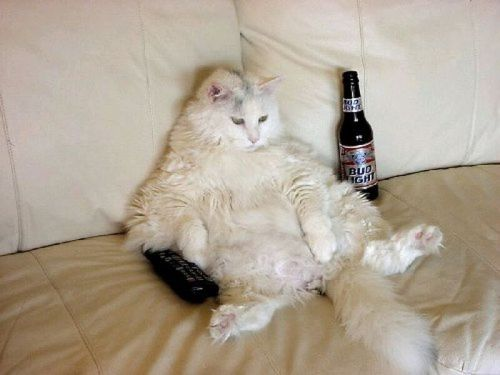 Fat and drunk KITTEH! ChaCha's Fat Cat Gallery