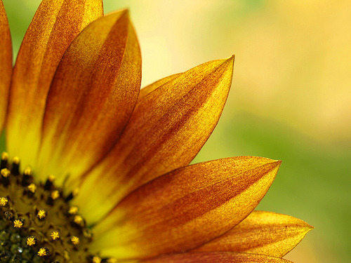 Sunflower Day - Macro (by - travis -)