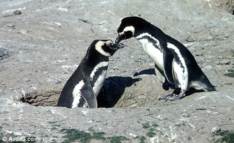 Patagonia's penguins at risk from proposed coal mine   Last month Chile's government approved a controversial coal mine project in southern Patagonia's Riesco Island, despite opposition from local residents and environmental groups, including Oceana. Marine conservation group Oceana presented a report to Chile's environmental ministry outlining the threats facing mammals and birds in the region, including the area's most emblematic seabird, the Magellanic penguin. The threats from the mine include heavy metal pollution (such as mercury), oil spills, and boat collisions with marine mammals. Riesco Island is part of Chile's Alacalufes National Reserve, which is home to an important colony of Magellanic penguins – around 10 million of the seabirds live around the island. The island and its surroundings are also home to at least 27 species of bird and 7 marine mammal species, including humpbacks. One of the region's waterways, Otway sound, is one of the only places on the Chilean coast where the Chilean dolphin, bottlenose dolphin and southern dolphin can all be found. The heavy metals released by coal mining would affect seabirds' reproduction, especially the penguins. Oil spills can contaminate the eggs, cause death by inhalation and ingestion, and loss of feather waterproofing, which can lead to hypothermia.