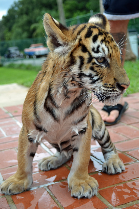 blueberrynocturne:  This is Rory, he was my favorite of the tiger cubs.