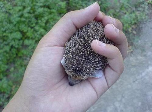lathyrism:   toptumbles:  Baby hedgehog  GOD BABY YOUR FEETSES
