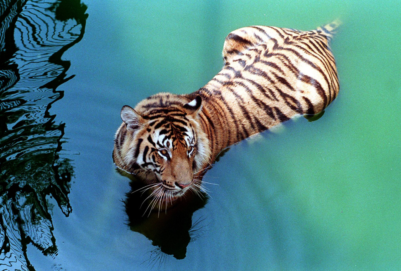 Bangladesh, India to protect tigers from poachers, mob beatingsBangladesh and India signed two deals to tackle poaching of critically-endangered Bengal tigers from the world's largest mangrove forest, an official said Wednesday.Local experts say only 200 of the big cats now live in the Sunderbans, down from 440 in 2004 — thanks largely to poaching by international animal smugglers and mob beatings by villagers who are hostile to tigers. (Photo: Mufty Munir/Files/AFP/Getty Images)