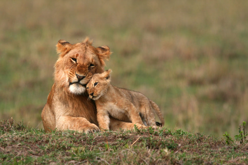 magicalnaturetour:  Lion cub and mother by Nick Constantinou :)