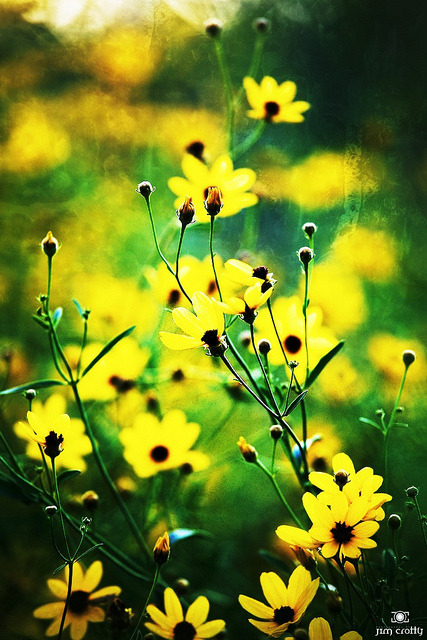 Tall Coreopsis on Flickr.Summer edges toward autumn