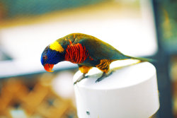 Rainbow Lorikeet by =Digitallica
