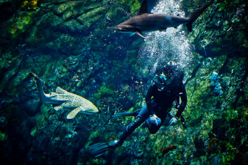 diving with sharks by dawvon on Flickr.