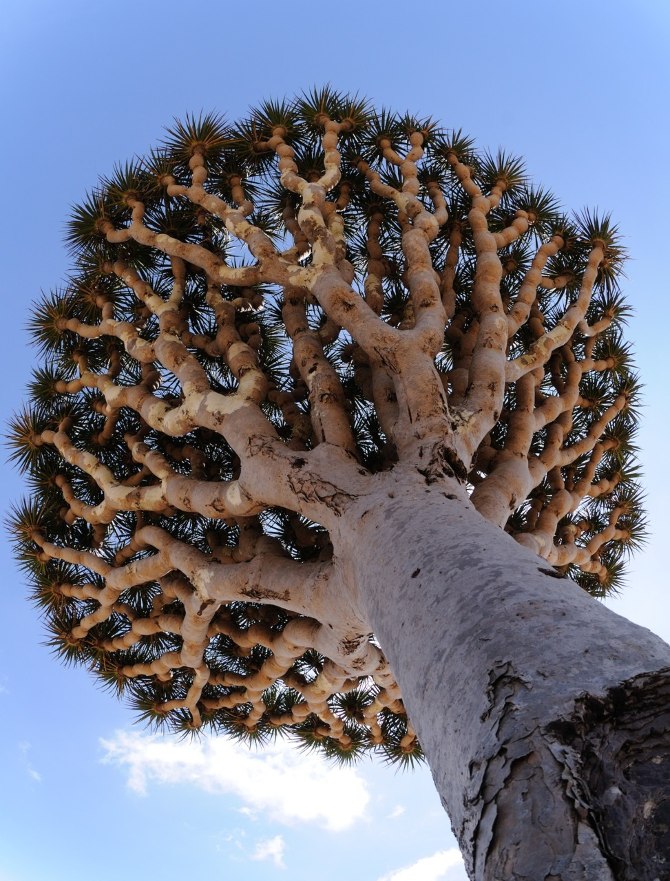 bhrama:  weedalici0us:  omg this is awesome   Dragonblood tree Socotra, Yemen
