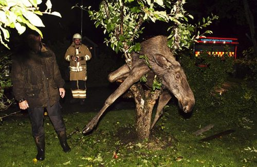 Messed-Up Moose of the Day: A Gothenburg, Sweden man who went to check out the noise coming from his vacationing neighbor's yard was surprised to find a drunk moose that got stuck in tree after consuming a few too many fermented apples. Assisted by police and rescue officials, Per Johansson successfully freed the inebriated animal by sawing off a few branches. Still hammered out of its antlers, the moose stumbled over to Johansson's garden where it reportedly remains today. Personally, I don't have much sympathy for the creature. A møøse once bit my sister. No realli! [ap via foxnews / thanks         bradford!]
