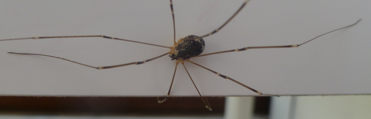 Close up glamour shot of the giant harvestman in the shed.