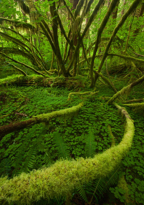 ninbra:  Rain forest, Olympic National Park, Washington.
