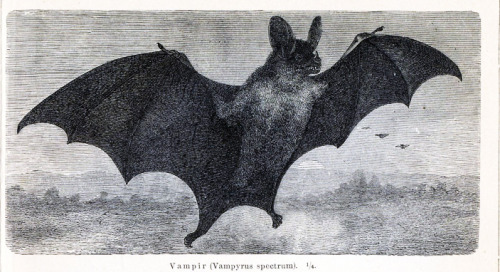 vintagegal:  Vampire Bat engraving 1865