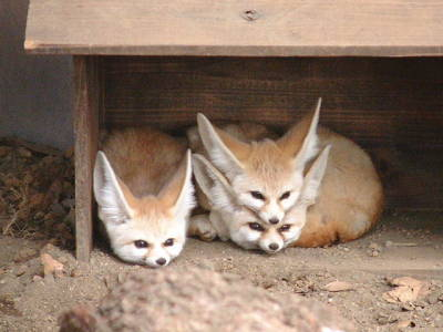 wellthatsadorable:  Yeah, just stack those foxes there in the corner with the others. The adorable fox corner, not the creepy fox corner. We may raise wild animals here, but we keep our business organized.
