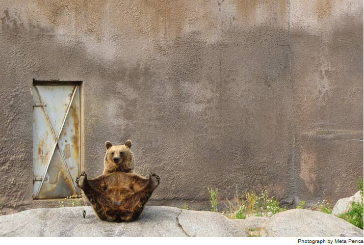 picturesoftheday:  Mimmi the brown bear shows her flair for flexibility during an afternoon stretch at the Ähtäri Zoo. Despite intense summer heat, the lively resident lifted paws for minutes at a time in poses learned from her mother.