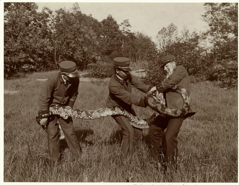blackandwtf:  1906 Park employees wrestle with a snake. (via the New York Public Library, Picture Collection and tuesday-johnson)