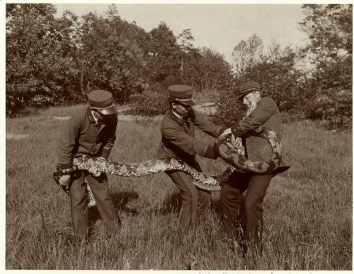 1906 Park employees wrestle with a snake. (via the New York Public Library, Picture Collection and tuesday-johnson)