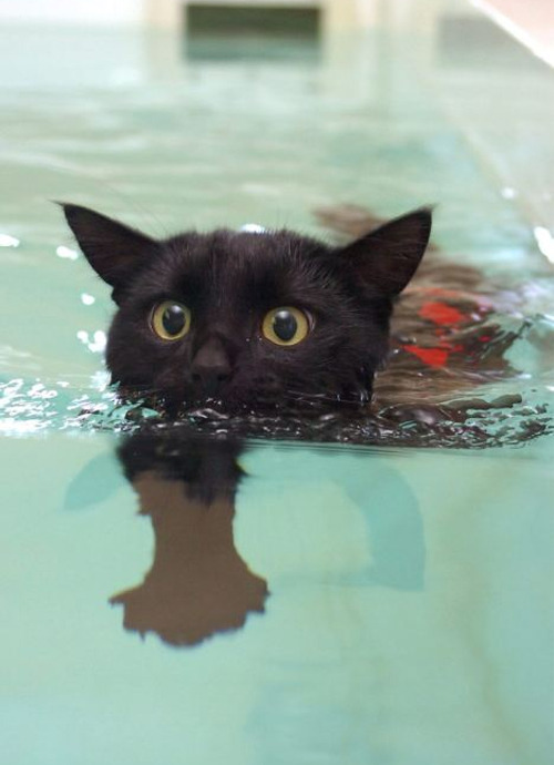 discoverynews:  infestedwaters:  no:  Tootsie, a little black cat who was left to die after a hit and run does hydrotherapy to recover the movement on his right leg.  Tootsie started on the long road to recovery with just ninety second dips while wearing a harness to help lower him in and out of the pool. But by the end of the six-week training plan he was able to swim freely without his safety rope or harness for 20 minutes at a time. Hydrotherapy is an established method of rebuilding weak and damaged muscles both in people and in animals.   my whole face just lit with happiness. i LOVE this.  Tootsie!  aaaaaaaaaaaaaaaaaaaaaaaaaa