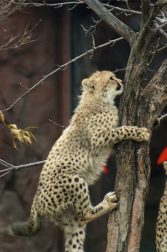 llbwwb:  TREE HUGGERS!  AGAIN! Cheetah (by conwest_john)