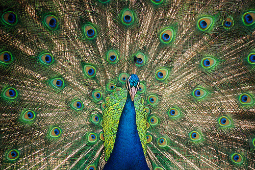 sinsonte:  Peacock (by Colognid)