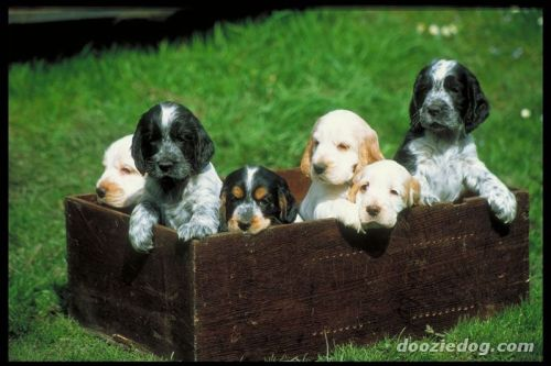 kaypeeisms:  What's better than one puppy? A BOX OF COCKER SPANIEL PUPPIES.