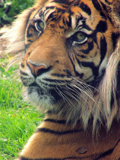 tigerss:  (by stephendoyle1981)