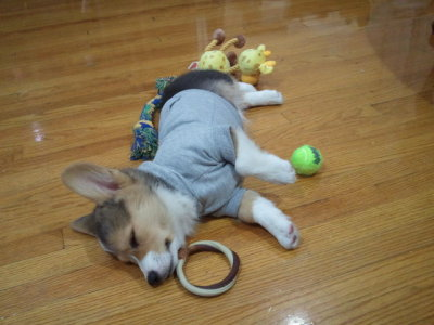 My Friday afternoon slump's pick-me-up: baby corgi PTFO in tee surrounded by toys. #Squee via corgiaddict:  Toda: Pooped Out