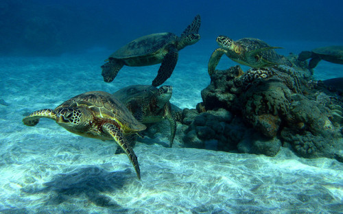 erinloser:  herd of turtles by bluewavechris on Flickr.