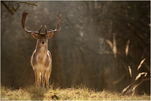 magicalnaturetour:   King of the Forest: Photo by Photographer Wendy de Kok :)
