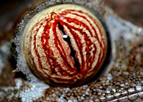 leaf-tailed-gecko-eyes
