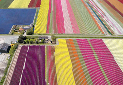 annersbananers:  Tulip fields in Holland! Dutch farmers produce roughly 9 million bulbs a year.