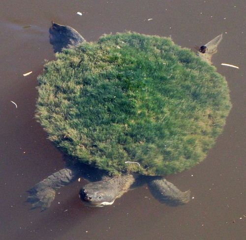 miseryfieldes:  rhamphotheca:  denotational:  Mary River Turtle (Elusor macrurus) - Endangered, found occurs in SE Queensland, Australia (photo: Manda @ I Love A Sunburnt Country)  See the Turtle of enormous girth On his shell, he holds the earth His thought is slow, but always kind He holds us all within his mind