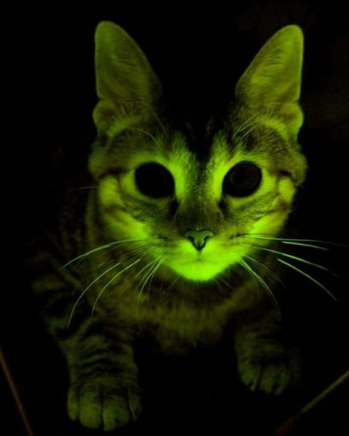 14-billion-years-later:  Glow-in-the-Dark Cats may help cure AIDS.Genetic engineering is one of those things that gets a bad rap despite being a rather natural occurrence in bacteria and even certain higher organisms. Also it gives us cats that glow in the dark, which is totally freaking awesome!The cat seen above wasn't just created for shits and giggles though. There's a more serious reason behind this fluorescent feline: battling AIDS. Currently there's two AIDS pandemics in the world: the human one with the better PR team and the feline version. As such scientists have created Glow-in-the-Dark cats as a way of exploring the genetic system of cats in order to better understand how to combat the genetic aspect of the AIDS/HIV virus.In genetic modification of this type cat DNA is inserted with a set of two genes, one from rhesus monkey that conveys resilience to HIV and one from jellyfish that gives them the eerie glow. The idea behind this is that if the cat glows it's also highly likely to have the viral resistance gene as well.