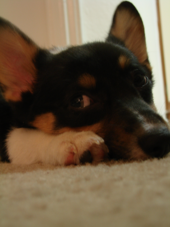 corgiaddict:  Zombie is sleepy. Submitted by Sarah(: