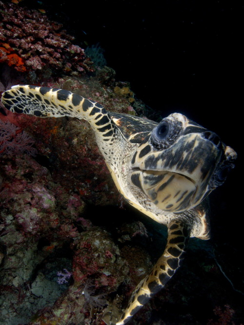thailanddiveandsail:  Turtle @ Similan Islands, Thailand