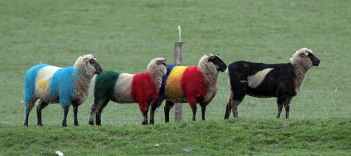 nationalpostsports:  Ruminant photo op of the day Sheep, painted in the colours of Rugby World Cup teams (L-R) Argentina, Italy, Romania and New Zealand graze in Dunedin, New Zealand, Sept. 11, 2011. (David Rogers/Getty Images)  All Blacks!
