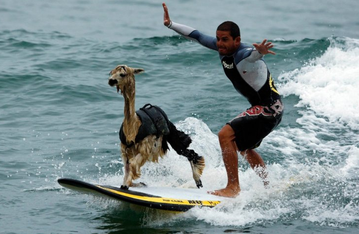 sunsetsurf:  I wanna surf with a llama…  Best thing i have ever seen in my life…
