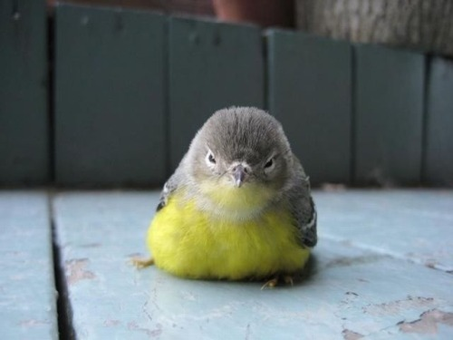 photinus:  fat-birds:  An oldie but a goodie :D  OH MY GOD LOOK AT THIS BIRD  Mother of god. O________________O